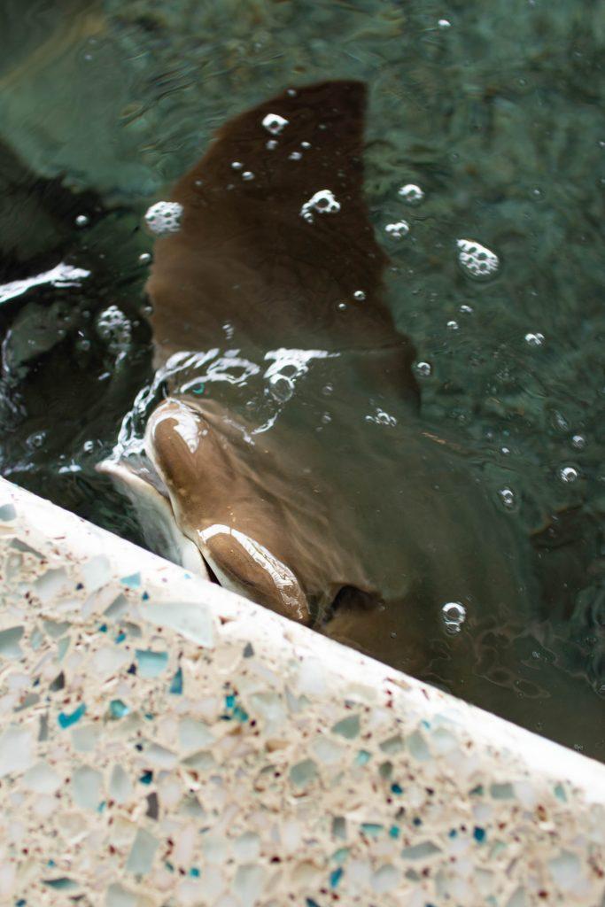 Sting Ray at SC Aquarium
