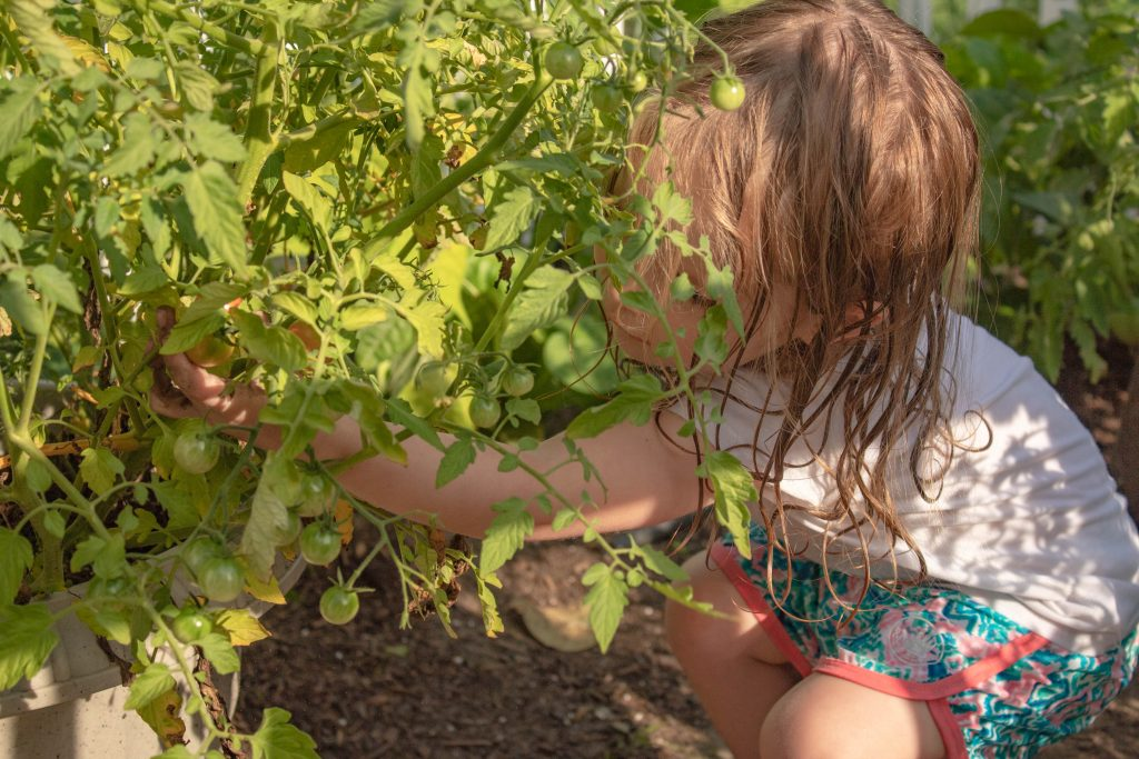 Picking tomatoes in the garden