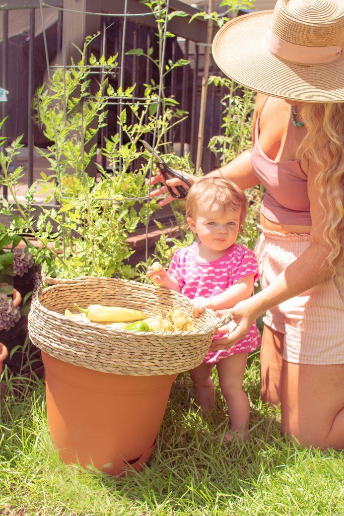 picking summer harvest in home garden